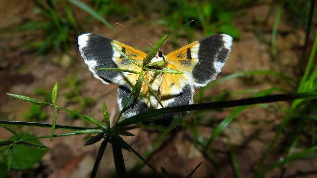 Geometrinae : Pingasa ruginaria (GUENÉE, 1858). Bobiri Forest (Ghana), 1er décembre 2013. Photo : J.-F. Christensen