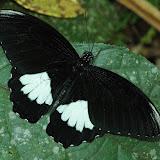 Papilio ambrax lutosa FRUHSTORFER, 1908, mâle. Warkapi, Arfak, 27 août 2007. Photo : G. Zakine