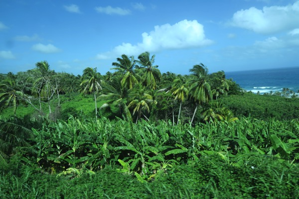 Coconut Banana Grove