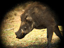 I still think warthogs are cool, but they definitely have a face that only their mother could love!  Ugly little guys!