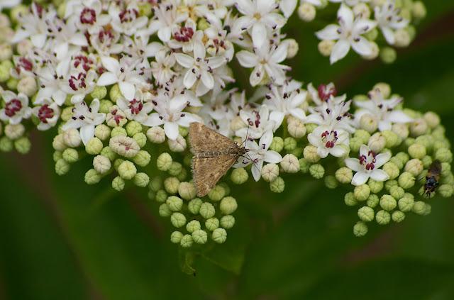 Crambidae : Pyraustinae : Pyrausta despicata (SCOPOLI, 1763). Les Hautes-Lisières (Rouvres, 28), 11 juin 2011. Photo : J.-M. Gayman