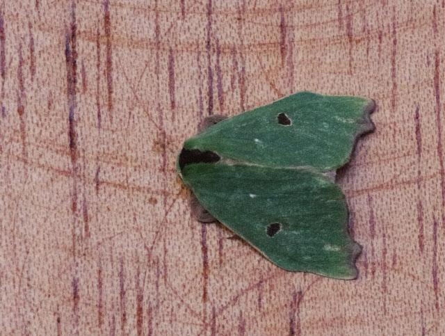 Notodontidae : Heterocampinae : Rosema deolis (Cramer, 1775). Mount Totumas, 1900 m (Chiriquí, Panamá), 21 octobre 2014. Photo : J.-M. Gayman