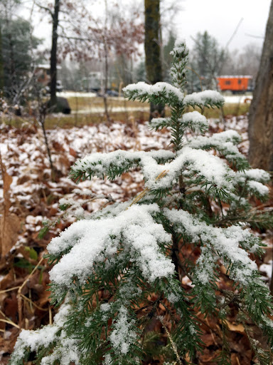 Pine sapling with a dusting of snow