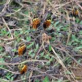 Melinaea mneme mneme, LINNAEUS, 1763. Au premier plan : Melinaea ludovica, CRAMER, (1780). Crique Tortue, près de Saut Athanase (Guyane). 21 novembre 2011. Photo : M. Belloin