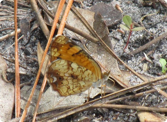 Hampton Tract - Pearl Crescent Phyciodes tharos Butterfly (2)