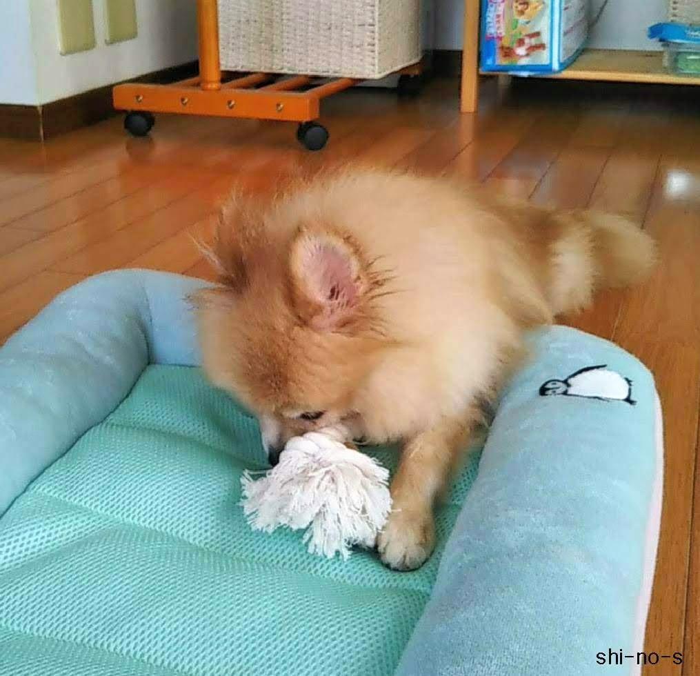 ミミがおもちゃを見つけて、咥えている