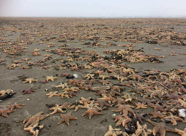 Thousands of dead starfish washed up on the beach near the seaside resort of Callantsoog, The Netherlands, 29 December 2016. Photo: Martin Kool