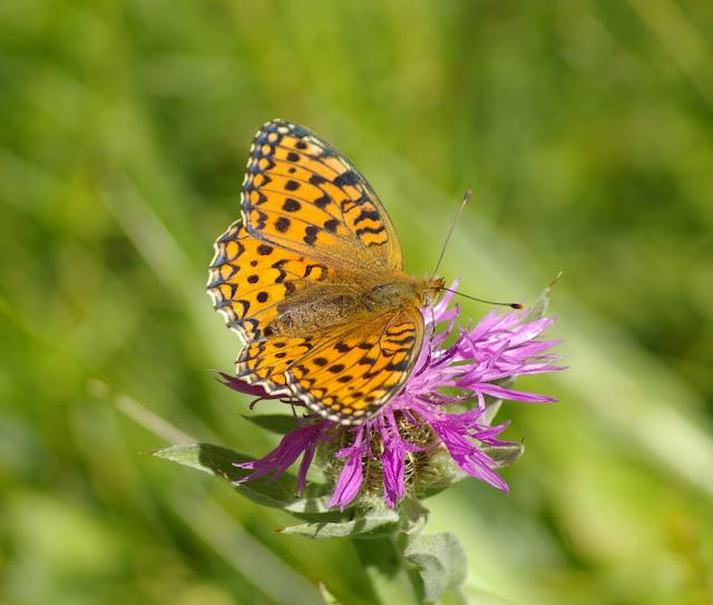 Speyeria aglaja LINNAEUS, 1758, mâle. Super Sauze, 2060 m (Alpes-de-Haute-Provence), 6 août 2009. Photo : J.-M. Gayman