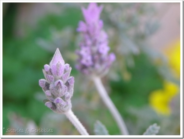 Lavender (10)