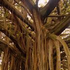 Detalle del árbol de Guacarí