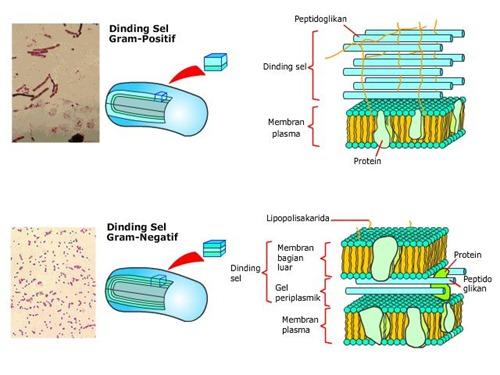 gambar struktur bakteri
