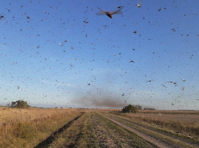 Nuvem de gafanhotos avança pela Argentina e está perto do Brasil, veja vídeos e fotos!
