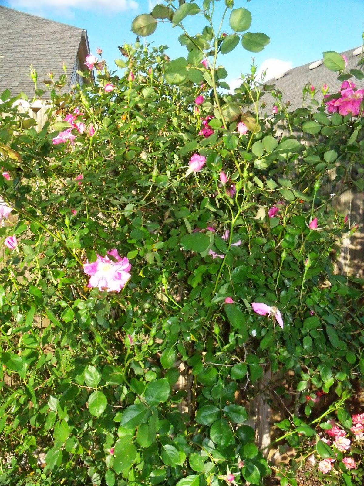Gardening 2015 - 116_7637.JPG