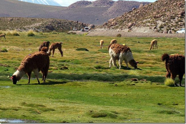Lhamas e Vicunhas - Rio Putana - Atacama