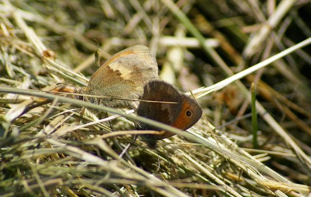Accouplement de Coenonympha pamphilus LINNAEUS, 1758. Hautes-Lisières (Rouvres, 28), 4 mai 2011. Photo : J.-M. Gayman