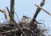 Heron Colony at Libby Hill-026.JPG
