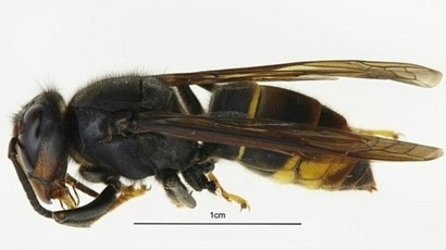 Invasive Asian Hornet