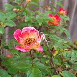 Gardening 2010 - 101_1170.JPG