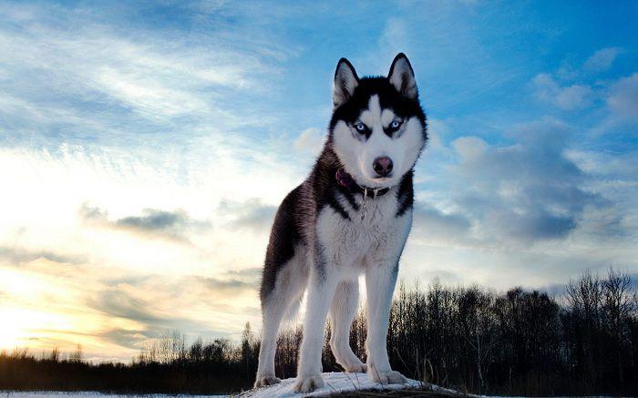 Chó husky - Những giống chó cảnh đẹp nhất | Loài chó đẹp nhất thế giới