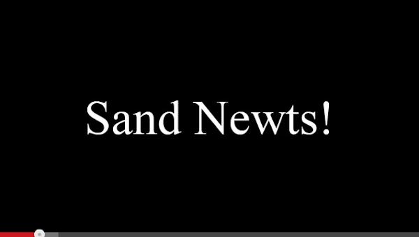 sand newts