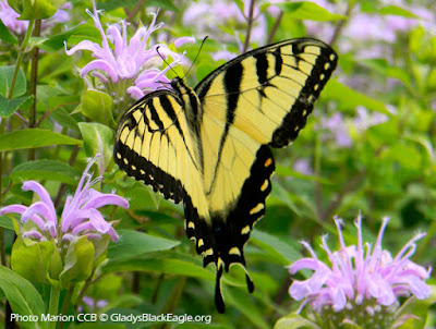 The large tiger swallowtails are active from early March through October. They depend on nectar and pollen-rich flowers