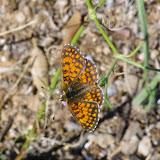 Melitaea diamina vernetensis RONDOU, 1902, mâle. Aix-en-Provence (13, France), 31 juillet 2014. Photo : J.-M. Gayman