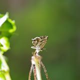 LepidopteresEte2013France