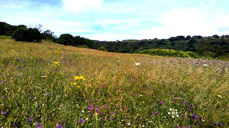 south downs and wildflowers