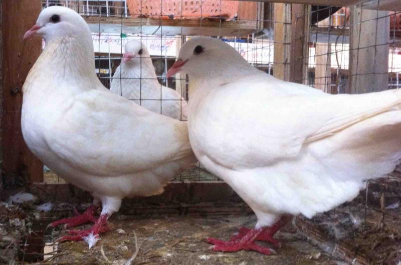 Hướng dẫn kỹ thuật chọn chim bồ câu Pháp giống - 56871602348ec