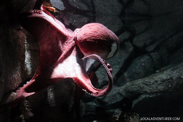 Giant Pacific Octopus (Monterey Bay Aquarium Animals).