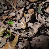 Probablement : Bebearia abesa HEWITSON, 1869, femelle. Ebogo (Cameroun), 8 avril 2012. Photo : J.-M. Gayman