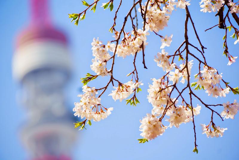 増上寺 桜 写真 2