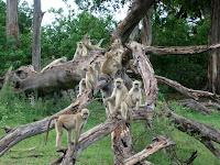 Baboons - Botswana - Okavango Delta