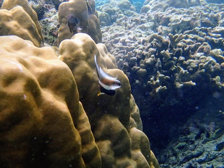 Heniochus chrysostomus (Three-band Pennant Bannerfish), Miniloc Island Resort reef, Palawan, Philippines.
