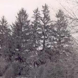 Spruce trees that stand on Apple Island.