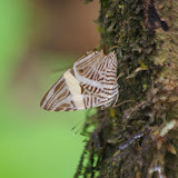Colobura dirce dirce (L., 1758). Tunda Loma à Calderon (Esmeraldas), 6 décembre 2013. Photo : J.-M. Gayman