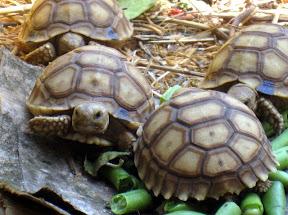 A turtle at Le Village des Tortues in Senegal