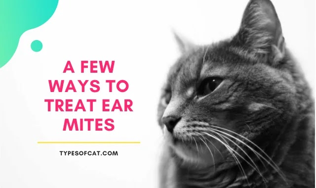 ear mites,ear mites in cats,how to treat ear mites,how to treat ear mites in cats,cat ear mites,mites,how to treat mites,how to get rid of ear mites in cats,how to treat ear mites in dogs,home remedy for ear mites,oil to treat ear mites