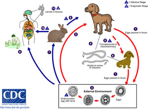 Life cycle of the Toxocariasis tape worm, and how it can get into humons