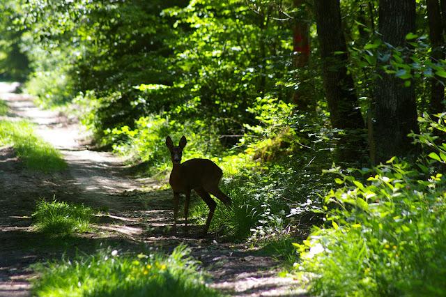 Jeune biche dans la Forêt de Dreux. Hautes-Lisières, 3 juin 2010. Photo : J.-M. Gayman
