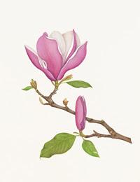 Magnolia wilsonii by Peggy Irvine