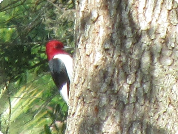 7 Red-headed Woodpecker, Melanerpes erythrocephalus