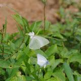 Catopsilia florella FABRICIUS, mâle. Colline de Mvog Beti, Yaoundé (Cameroun), 6 avril 2012. Photo : J.-M. Gayman