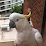 Cockatoo Wingtag's profile photo