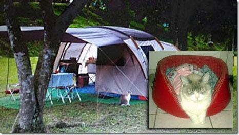 mimosa-acampando