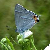 Favonius orientalis schischkini KURENTZOV, 1970, mâle - Monts Sinyi. Photo : N. N. Balatskij