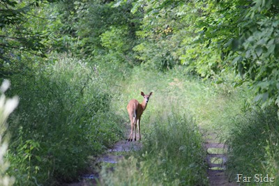 Deer on a two track road