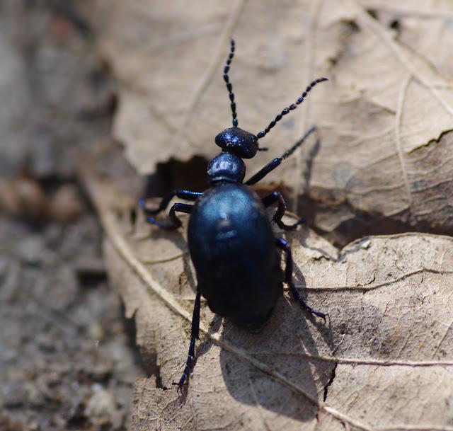 Meloidae : Meloe proscarabaeus LINNAEUS, 1758. Les Hautes-Lisières (Rouvres, 28), 28 mars 2012. Photo : J.-M. Gayman