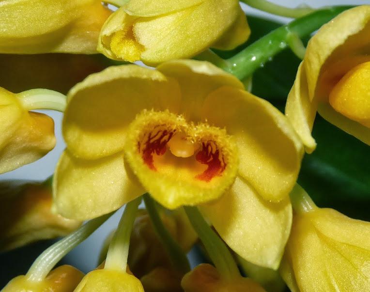 Dendrobium sulcatum P1370302