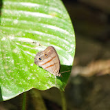 Magneuptychia sp. Tunda Loma (Calderon, San Lorenzo, Esmeraldas), 30 novembre 2013. Photo : J.-M. Gayman